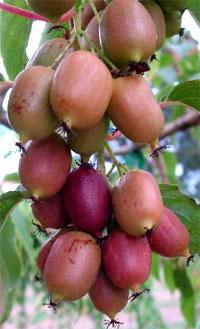 Актинідія пурпурова