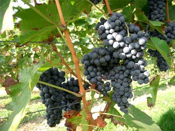 Виноград культурний