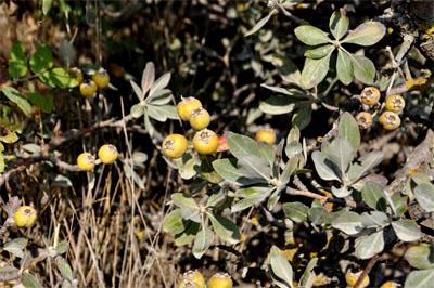 Груша маслинколиста