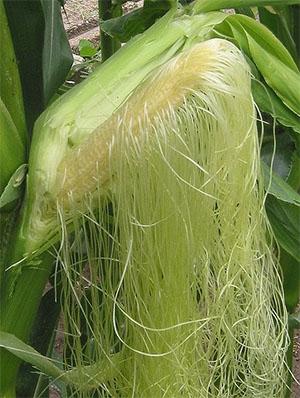 Кукурудза звичайна