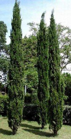 Кипарис вічнозелений