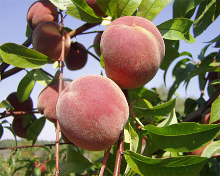 Персик звичайний