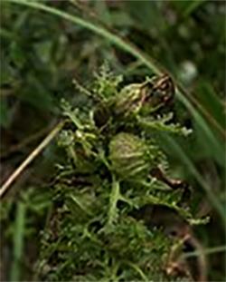 Шолудивник болотний